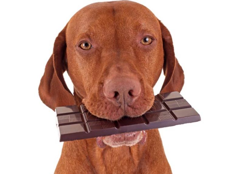 Dog Ate Chocolate: What to Do if Your Dog Eats Chocolate