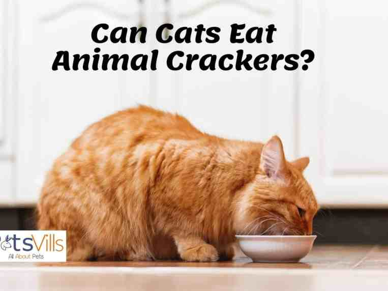 Can Cats Eat Animal Crackers? Should I Worry or Not?