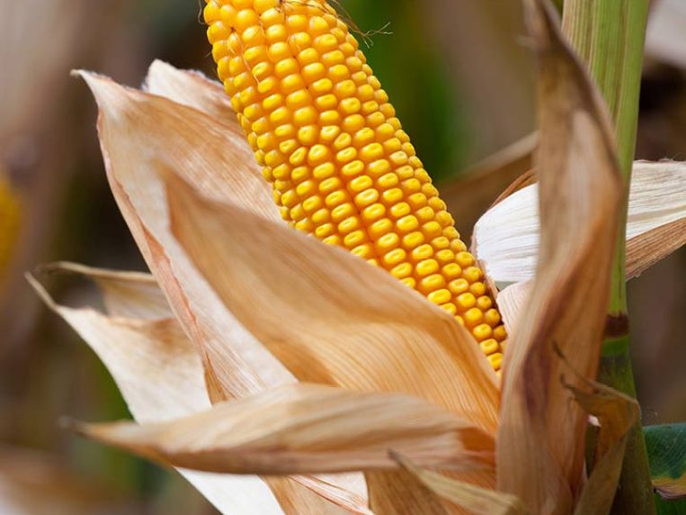 10 Surprising Side Effects Of Corn That You Should Know
